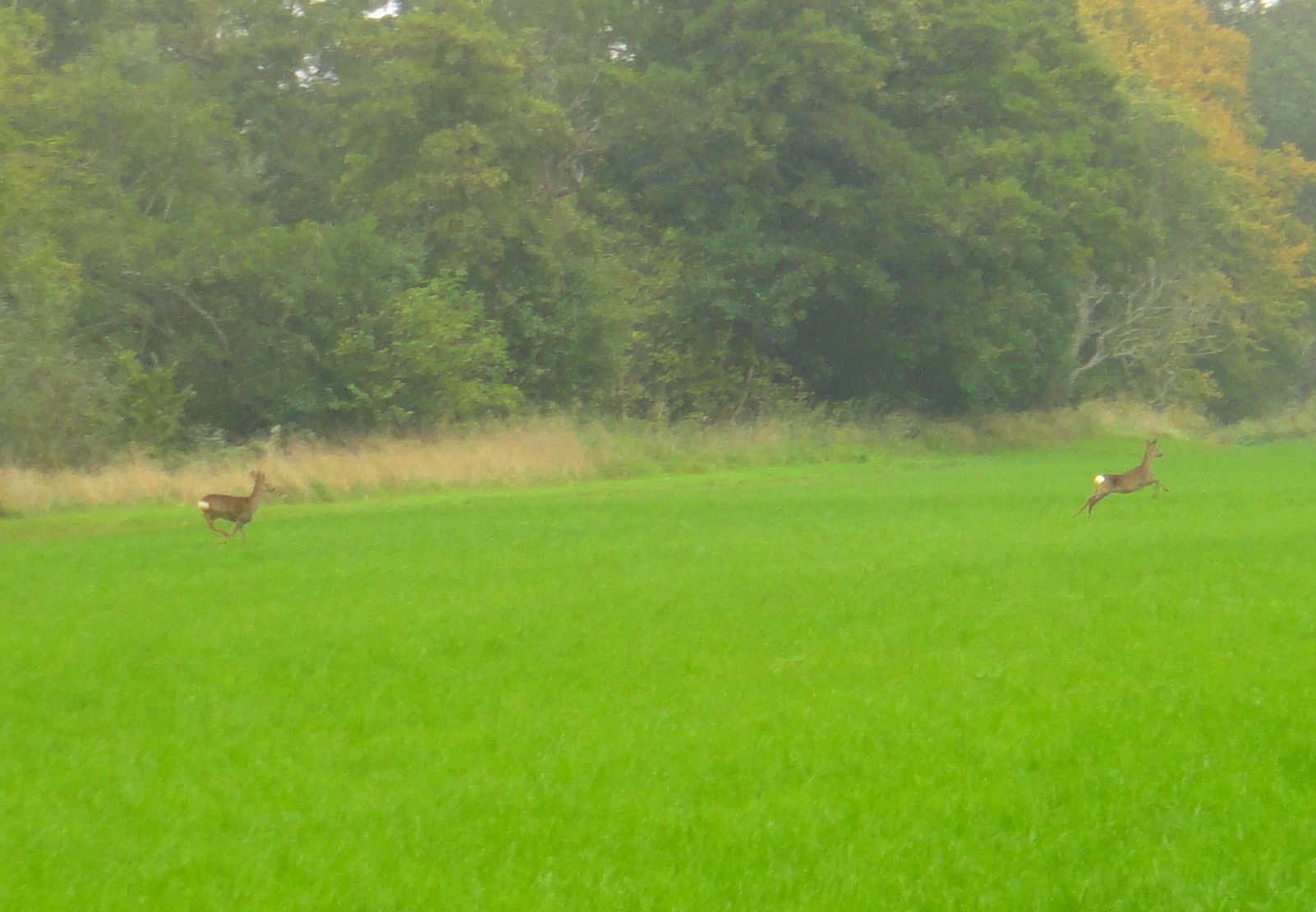 Two deer running across a meadow