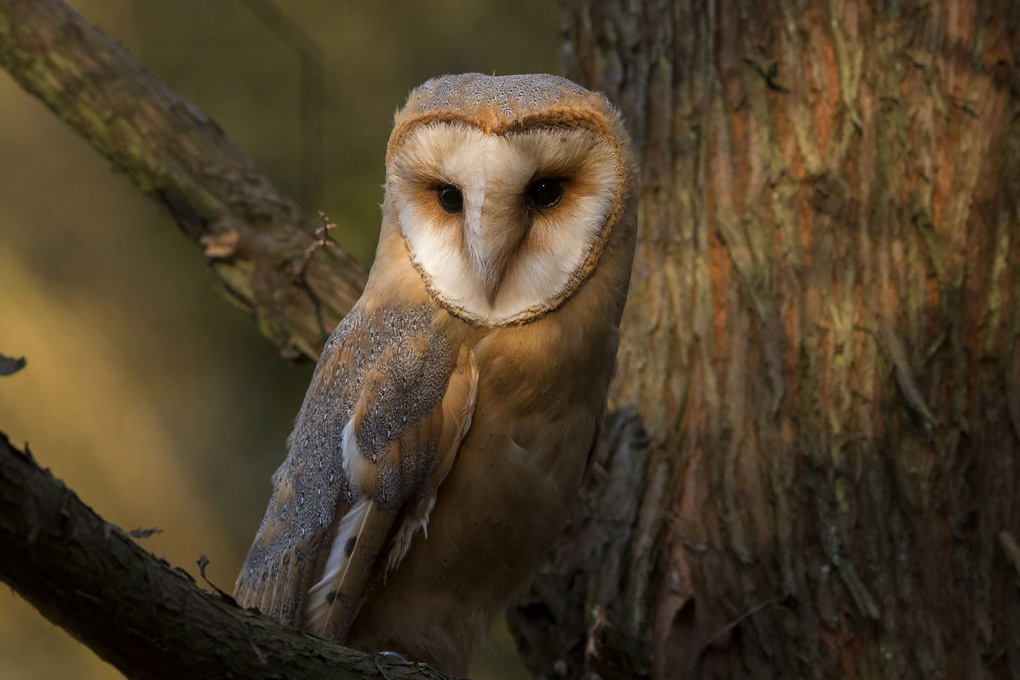 barn owl in a tree