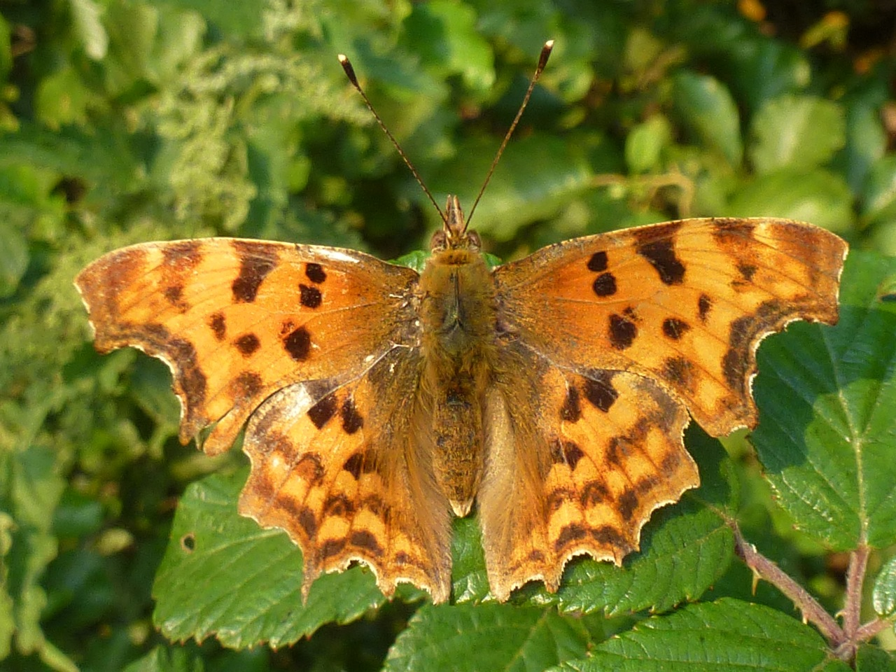 Orange and black patterend butterfly resting on bramble