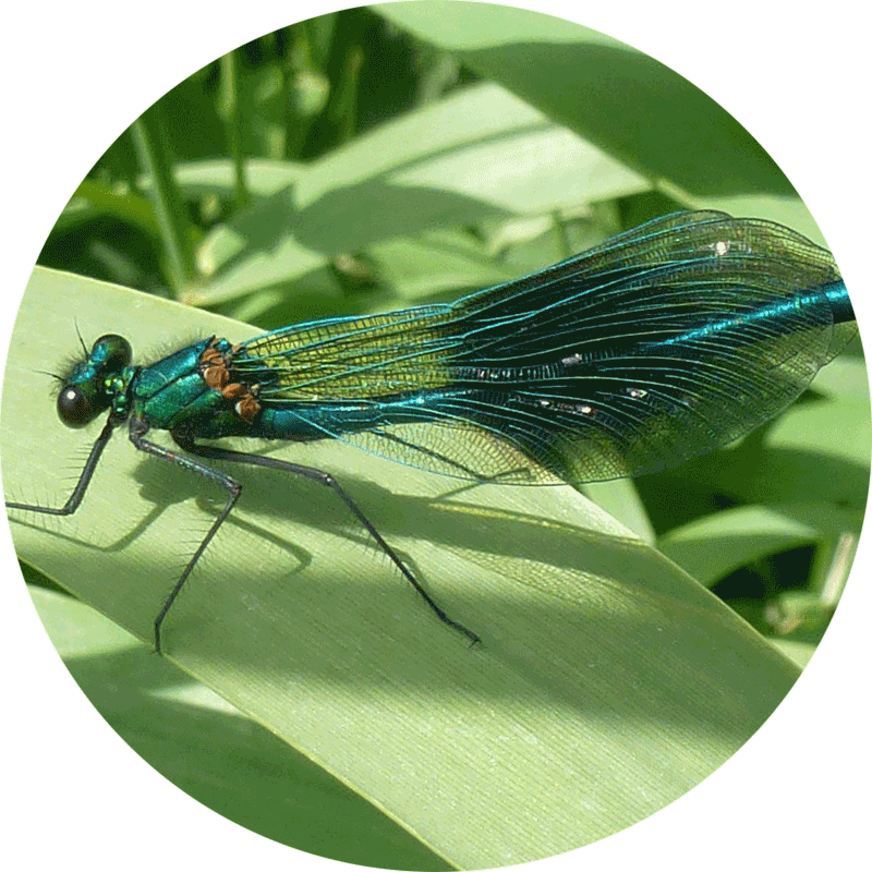 Shiny green damselfly