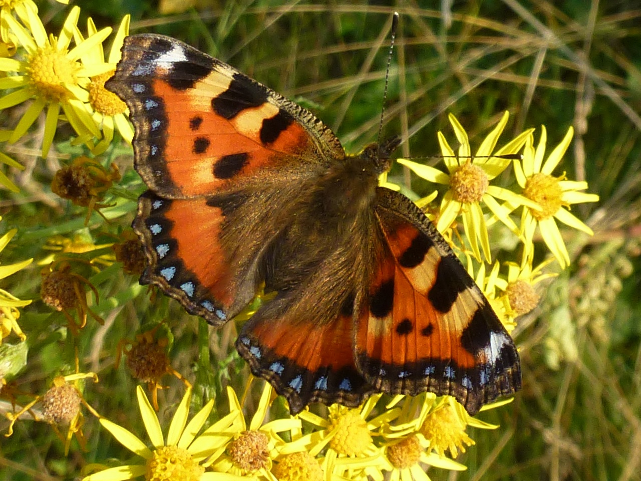 Orange, black and blue butterfly resting on bright yellow flowers