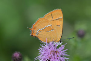 Butterfly with orange underwings with white lines feeding on a purple flower