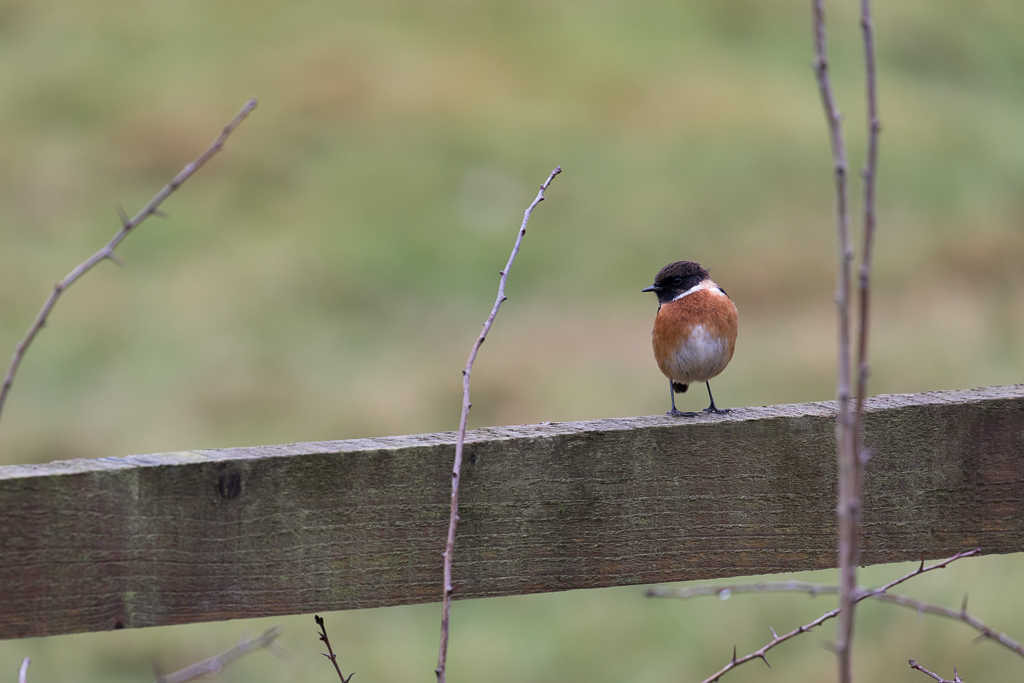 Small bird with dark brown head and orange breast perched on a fence rail