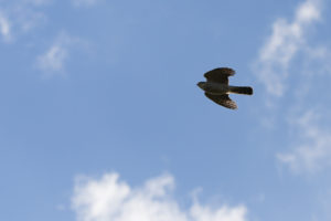bird of prey in a blue sky with clouds