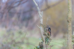 woodpecker perching and feeding on a leafless tree.