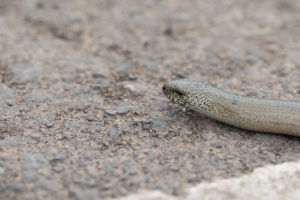 close up of the head of a slow worm on a concrete path.