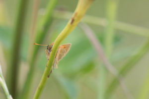 small skipper butterfly with the view of its antennae
