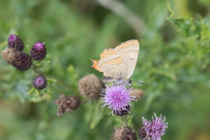 orange and brown butterfly feeding on purple thistle flower.
