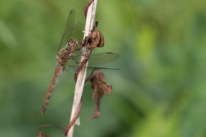 brown coloured dragonfly perched on a dead plant stalk.