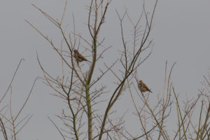 Two cream and brown birds high in trees.