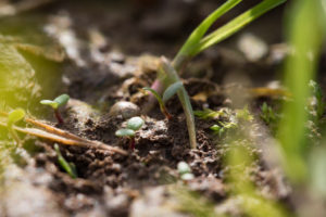 tiny plant shoots growing out of bare soil surrounded by grass