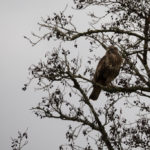 Buzzard in an alder tree