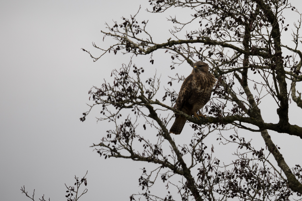 Bird of prey perched in a bare alder tree