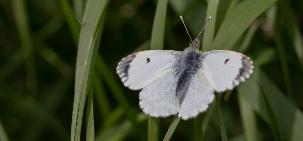 White butterfly with black markings resting on grass