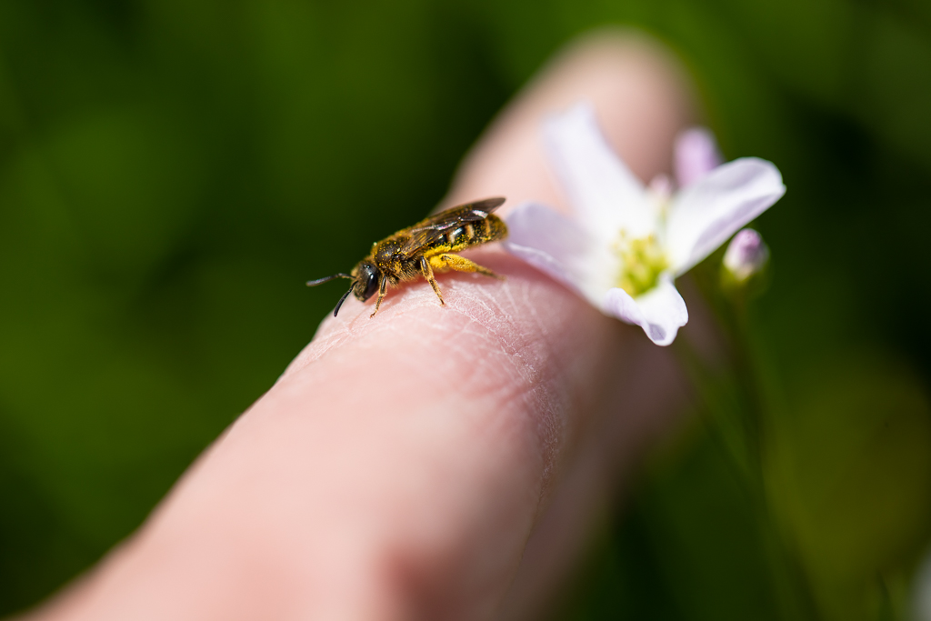 Very small bee, around 1cm long, covered in pollen resting on a person's finger