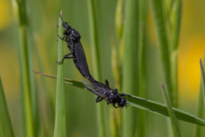 A pair of black flies joined at the tail and resting on grass.