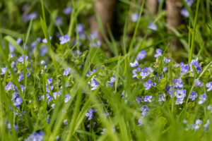 Purple four petalled flowers in the grass