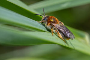 A small bee with red haired thorax and legs with a black abdomen, save the very tip which is orange.