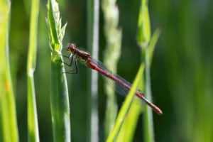 Small red damselfly resting on a vertical blade of long grass