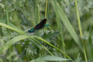 Iridescent green damselfly with dark wings resting on a blade of grass
