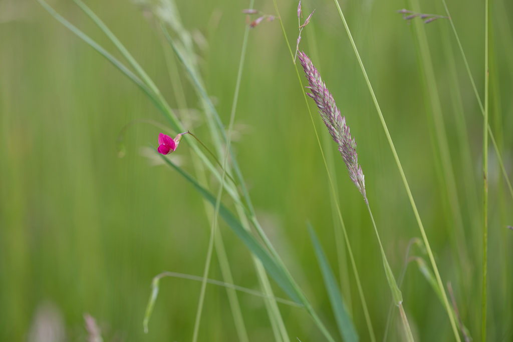 Bright pink flower in a grassland