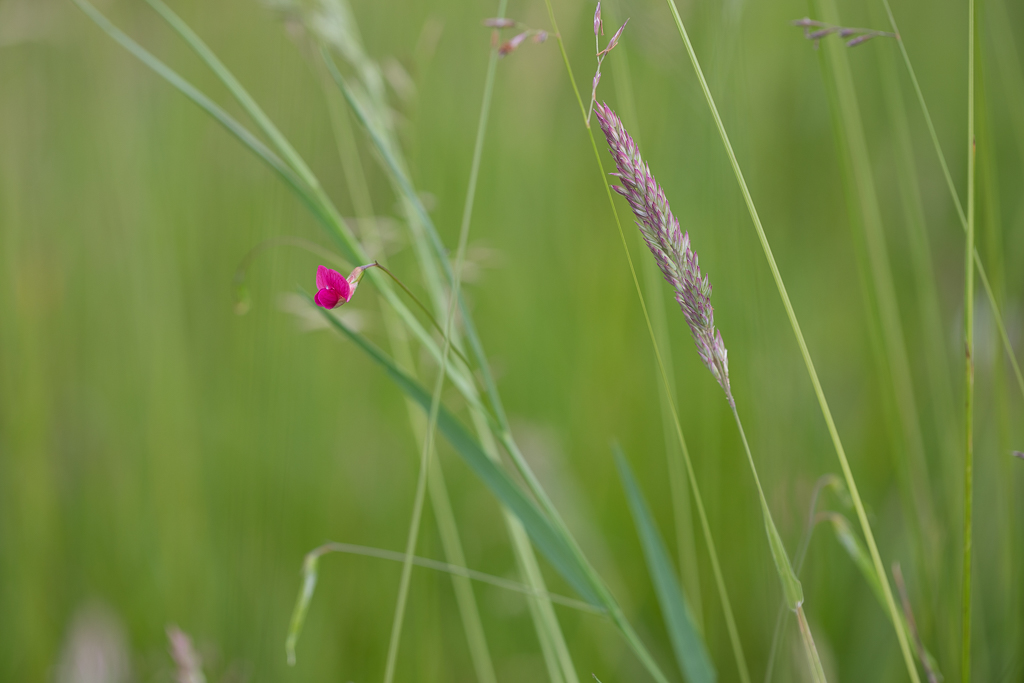 Small bright pink flower among long grass