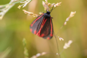 Black moth with red stripes and spots resting on a grass inflorescence