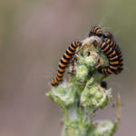Orange and black striped caterpillars feeding on unopened buds