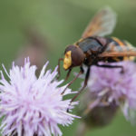 Large black and yellow striped fly feeding on a purple flower