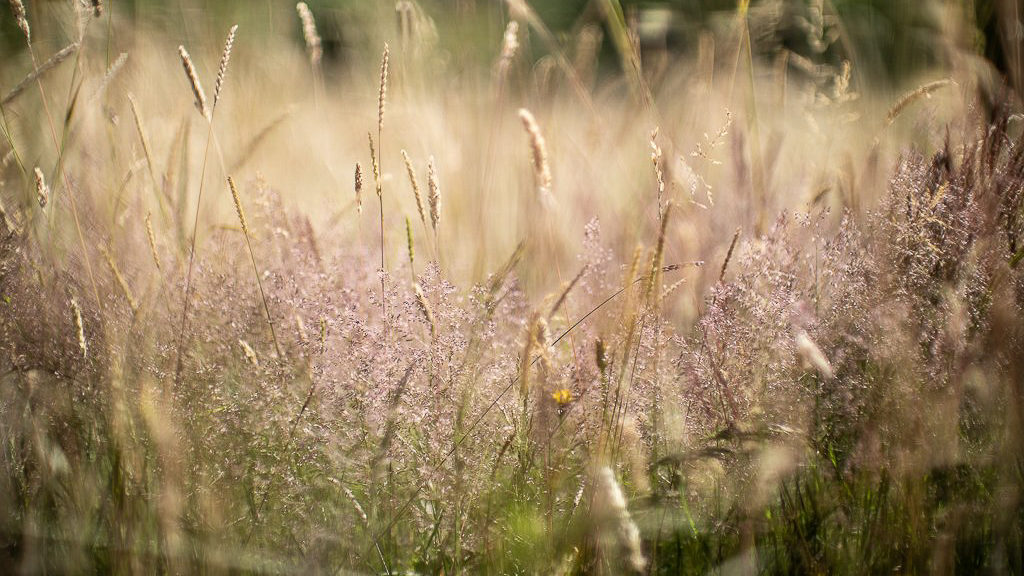 Long grass in a hay meadow with some flowers visible in the sward