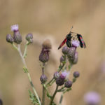 Two red and black moths feeding on a spiny purple flower