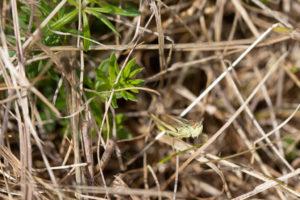 Dark green leaves arranged in a star around a stem pushing through dried grass.