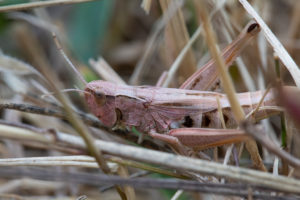 Pale pink insect resting on dry grass.