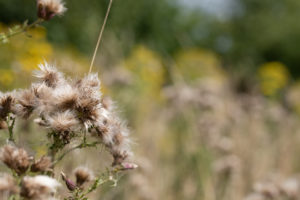 Brownish seedheads of spiky plants with blurred yellow flowers in the background.