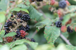 Black and red blackberries on a bramble