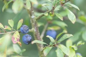 Blue fruit on a spiny small tree