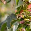 Green Leaves and pink winged seeds