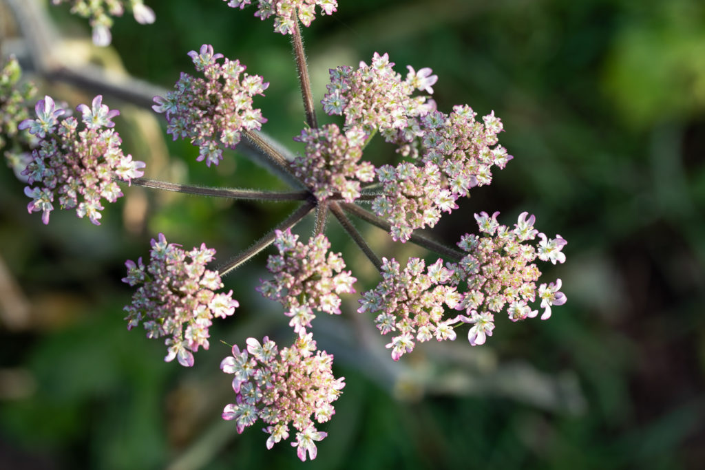 Pink and white umbelliferous flower