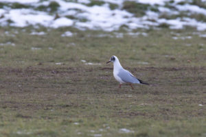 A small gull with partially black feathers on its head standing on muddy ground with snow in the background.