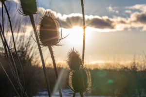 Teasel combs backlit by sun.