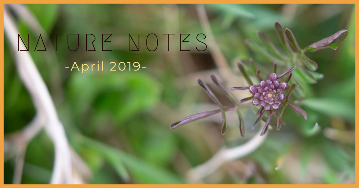 Dark purple buds and green leaves with the words NATURE NOTES, April 2019