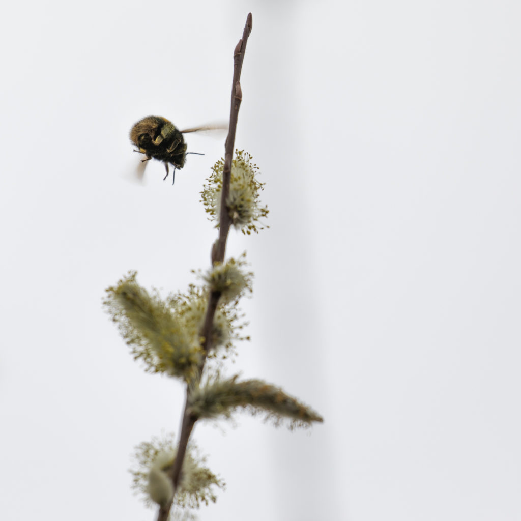 Bumblebee, covered in yellow pollen, flying to open willow flower.