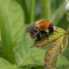 Ginger bumblebee resting on a bramble leaf.