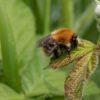 Ginger bumblebee resting on a bramble leaf.