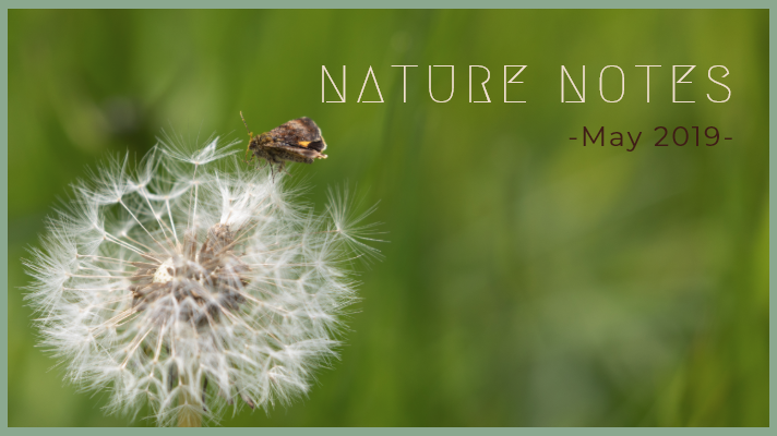 Dandelion seed head with a brown and orange moth resting on it. The words Nature Notes May 2019