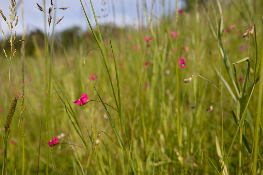 Bright pink flowers dotted among grass.