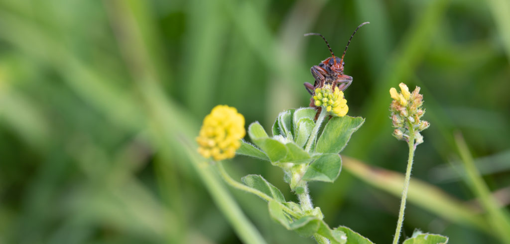 Red and black beetle on small yellow flower.