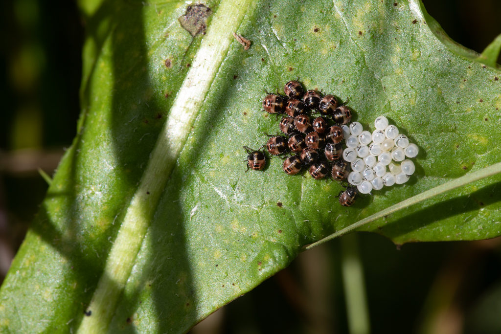 Tiny insects in a bunch next to empty white eggs.