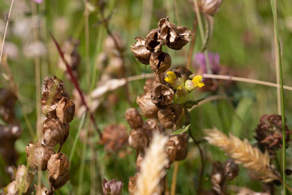 Yellow beak-like flower next to open brown seed heads.