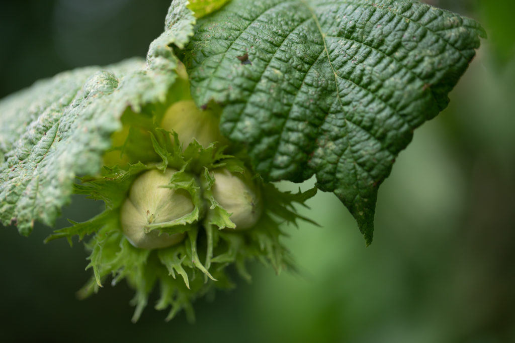 Green hazelnuts with fringes around.